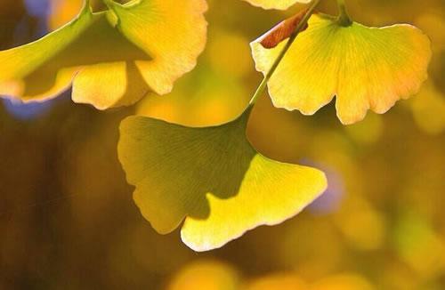 秋游银杏林 为了那片金黄